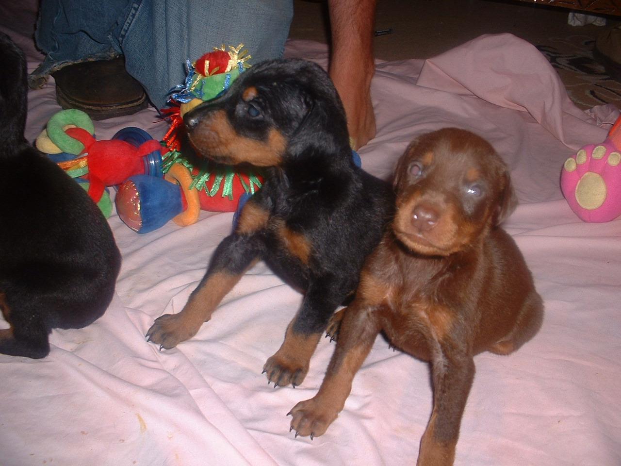 Doberman Pinscher Puppy Images Pamelot Doberman Pinscher